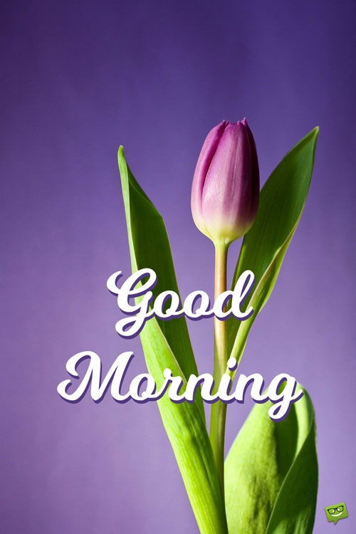 elegant-purple-tulip-good-morning