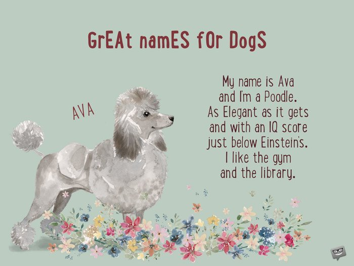 My name is Ava and I'm a Poodle. As Elegant as it gets and with an IQ score just below Einstein's. I like the gym and the library.