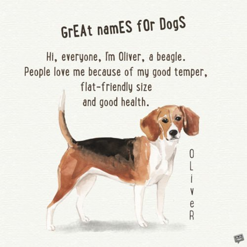 Hi, everyone, I'm Oliver, a beagle. People love me because of my good temper, flat-friendly size and good health.